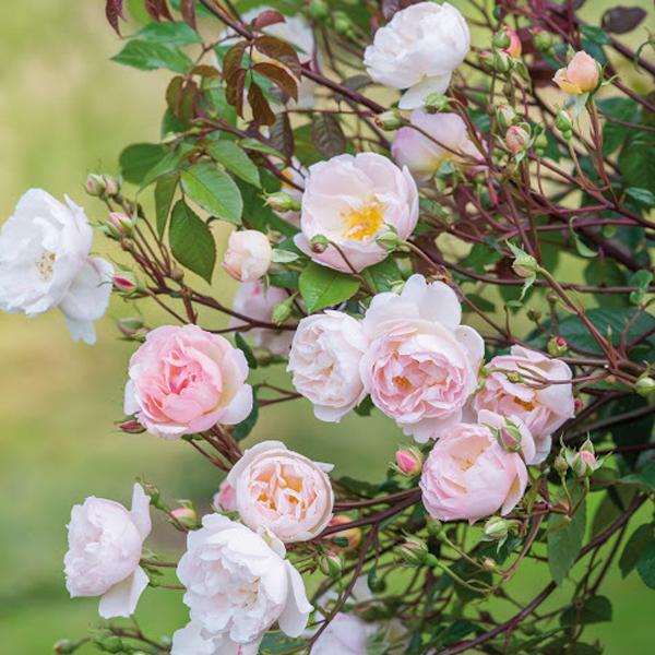 Shop bán hoa hồng tươi đẹp tại TPHCM